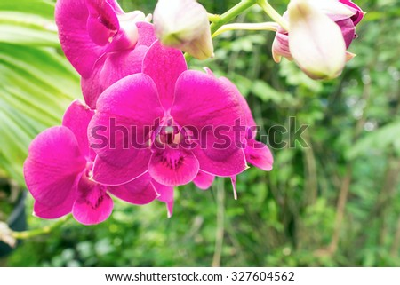 Purple Dendrobium  orchid flowers blooming - stock photo