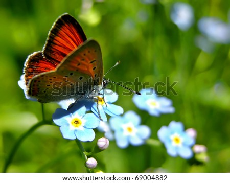 Purple-edged Copper butterfly (Lycaena hippothoe) on Forget-me-not flower (Myosotis arvensis) - stock photo