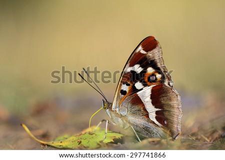 Purple Emperor (Apatura iris) - stock photo