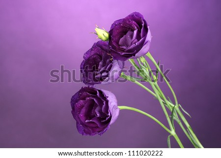 purple eustoma on violet background - stock photo