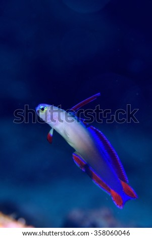 Purple Fire goby  - stock photo