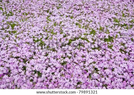 Purple flower carpet - stock photo