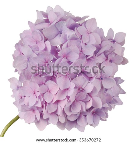 Purple flower hydrangea on white background. Clipping path inside - stock photo