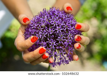 Purple flower in the shape of a ball in the women's hands - stock photo