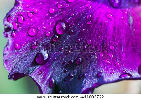 Purple flower petals with water drops on it. Close up - stock photo