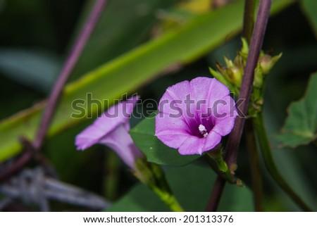 Purple Flower Sweet Potato Crop Leaf Harvest - stock photo