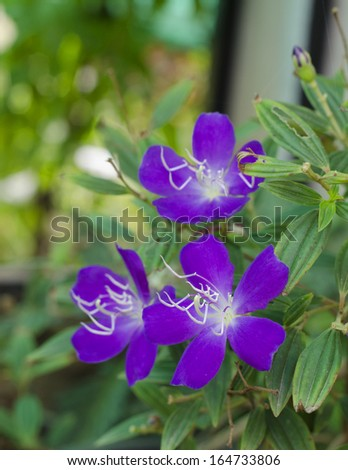 Purple Flower Tibouchina or Glory Bush.