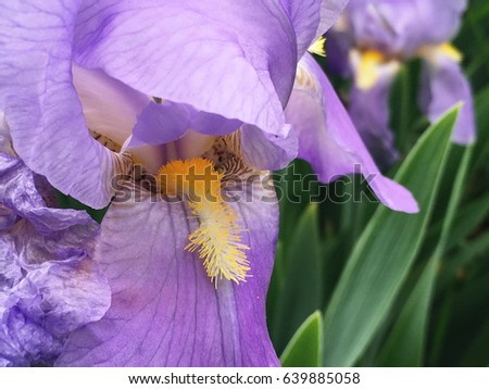 Purple flower yellow stamen stock photo royalty free 639885058 purple flower with yellow stamen mightylinksfo