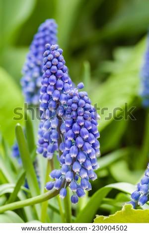 Purple flowering grape hyacinth bulbs - stock photo