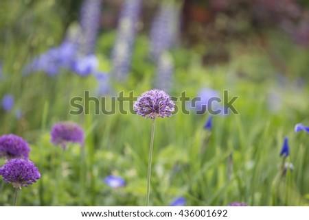 Purple flowers, Alliums in a flower garden - stock photo