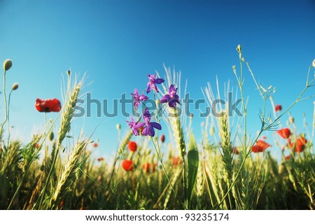 purple flowers and red poppies on a cultivated field. - stock photo