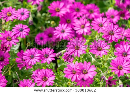 purple flowers, chamomile grass, beautiful wallpaper - stock photo