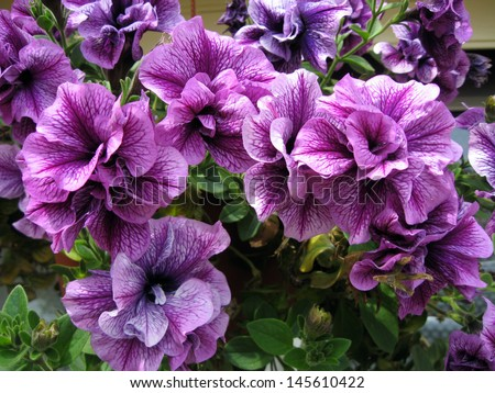 Purple flowers close up, in hanging basket - stock photo