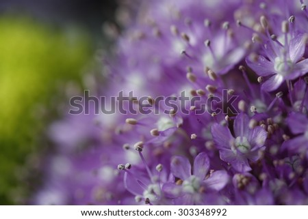Purple flowers in bloom on a green garden blurred background