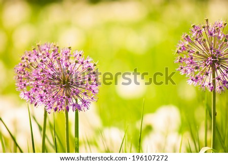 Purple flowers of Allium (Flowering Onion) in spring