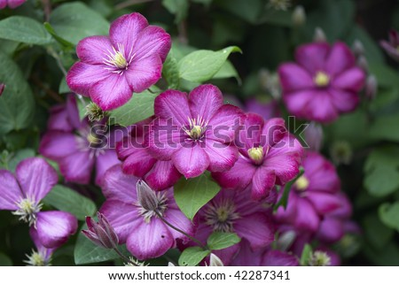 Purple flowers of clematis - stock photo
