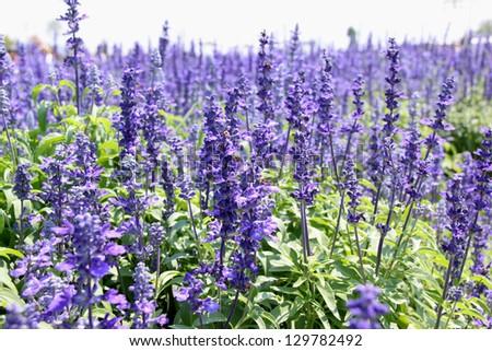 Purple flowers of Hyssopus officinalis (Hyssop) - stock photo