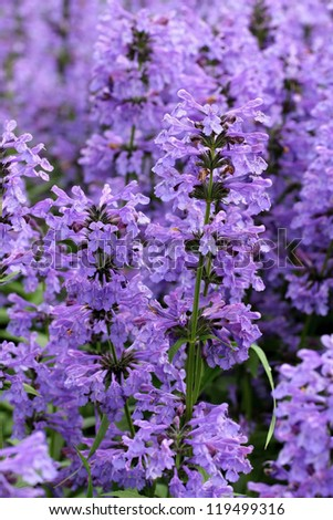 Purple flowers of Hyssopus officinalis (Hyssop) close up. - stock photo