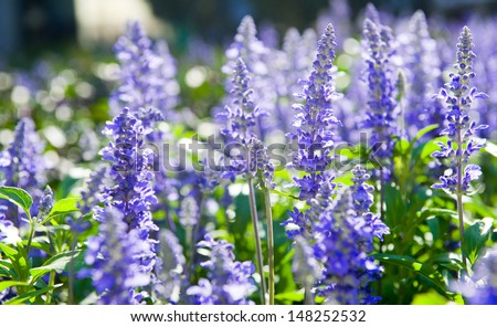 Purple flowers of Hyssopus officinalis (Hyssop) close up. Lavender - stock photo