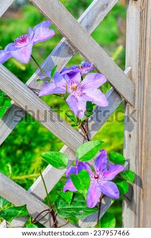 purple flowers on picket fence - stock photo