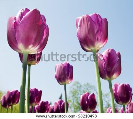 Purple flowers tulips close-up background - stock photo