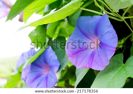 purple flowers with green leaf  in the field .  - stock photo