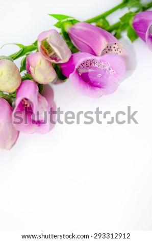 Purple Foxglove (Digitalis purpurea) Flowers Isolated on White Background