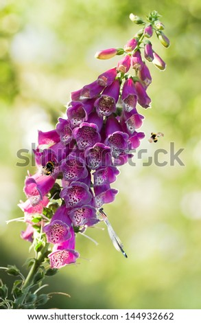 Purple foxglove or Digitalis purpurea flowers  in eveningsun light with bumble bees and damselfly - stock photo