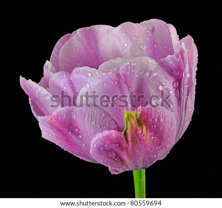 "Purple ""Foxtrot"" - Double Tulip (Tulipa) Liliaceae - Stacked Image - stock photo"