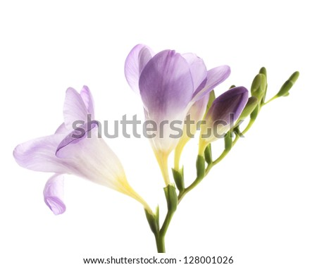 Purple freesia flower, isolated on white - stock photo