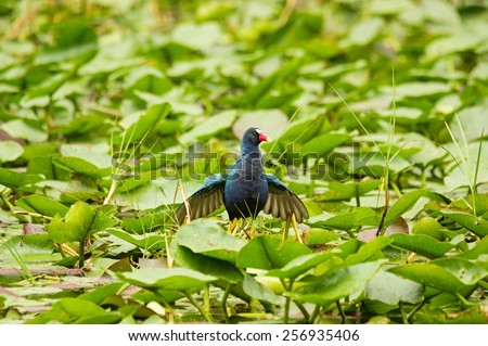 purple gallinule or Porphyrula martinica bird walking on leaves in the Everglades swamp - stock photo