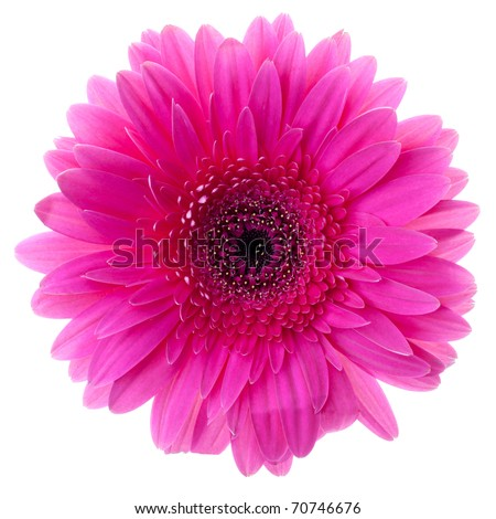 Purple gerbera flower closeup. Isolated on white - stock photo