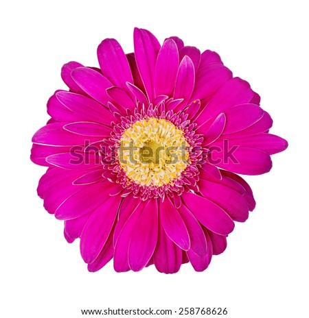 Purple gerbera flower isolated on white background, close-up