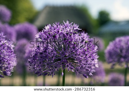 Purple Giant Onion (Allium Giganteum) blooming in a garden - stock photo