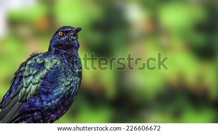 Purple glossy starling (Lamprotornis purpureus) with metallic iridescent purple  and green feathers