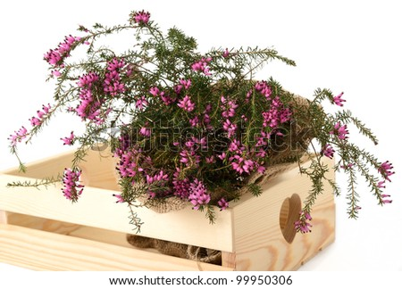 Purple heather bunch inside a box
