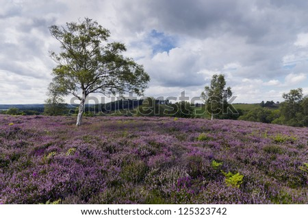 Purple heather in bloom at Rockford Common in the New Forest in Hampshire. - stock photo