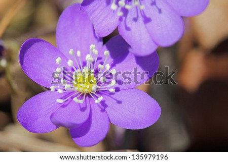Purple Hepatica nobilis flower close up in the spring. - stock photo