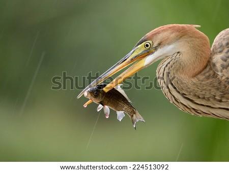 Purple Heron catch fish - stock photo
