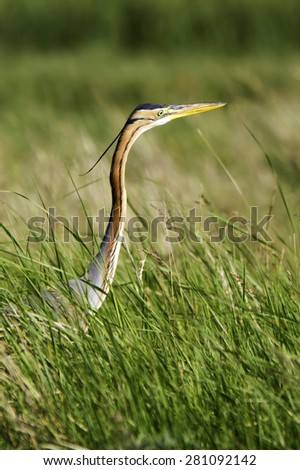 purple heron in natural habitat / Ardea purpurea - stock photo