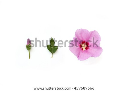 Purple hibiscus isolated on the white background; bud, blossom and leaf - stock photo