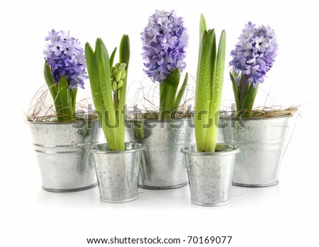 Purple hyacinth in aluminum pots on white - stock photo