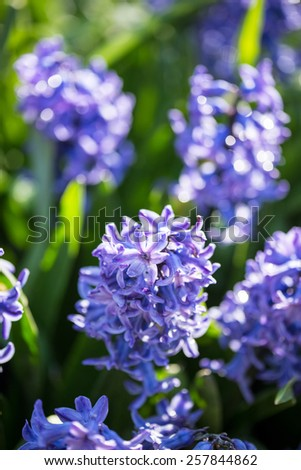 Purple hyacinths flowers in the spring garden - stock photo