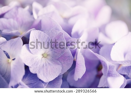 purple hydrangea flower with solf light - stock photo