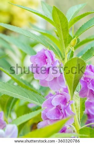 Purple Impatiens balsamina (Garden Balsam) Blooming in the garden. - stock photo