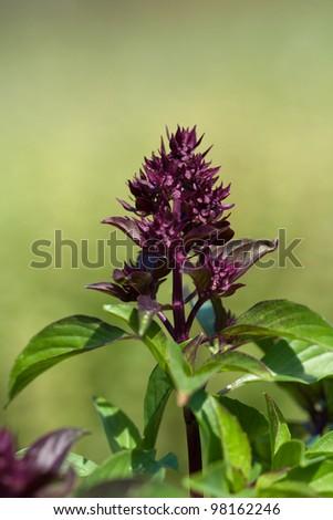 purple inflorescence of ocimum basilicum sweet basil in open field - stock photo