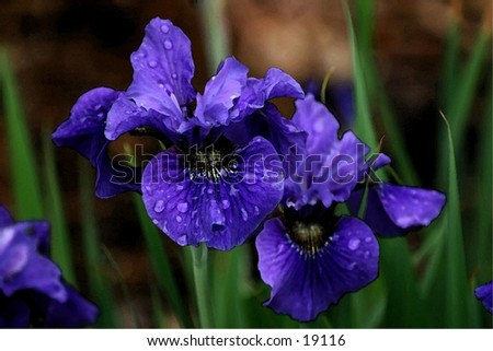 Purple iris are a sure sign of Spring. - stock photo