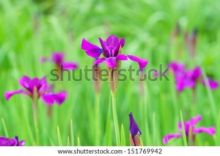 Purple iris flower in spring - stock photo