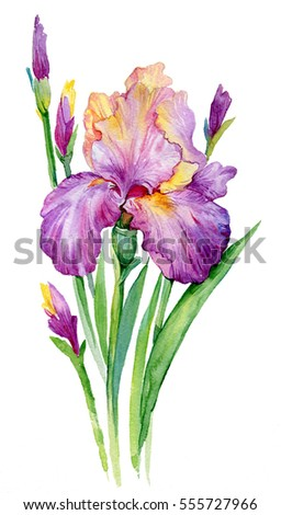 iris immagini stock, immagini e grafica vettoriale royalty free, Beautiful flower