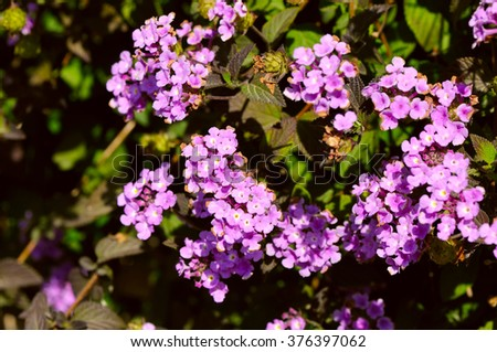 purple  Lantana flowers with buds and leaves - stock photo